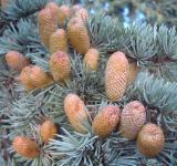 Free Photo - Little fir cones