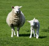 Free Photo - Ewe and lamb