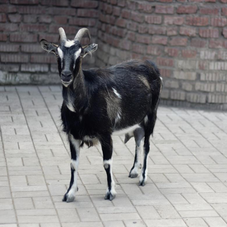 бирюзовая вуаль кривоногая коза фото цветоводов можно