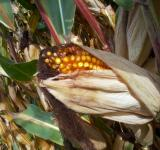 Free Photo - Open corncob