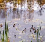 Free Photo - Ducks on lake 2