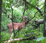 Free Photo - Deer in woods