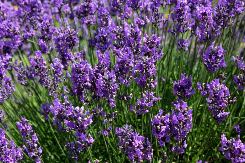 Free Stock Photo of Lavender Created by paul clifton
