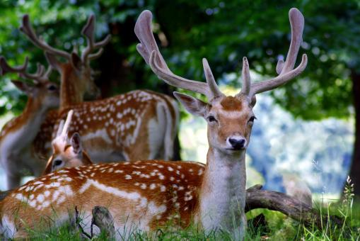 Fallow deer - Free Stock Photo