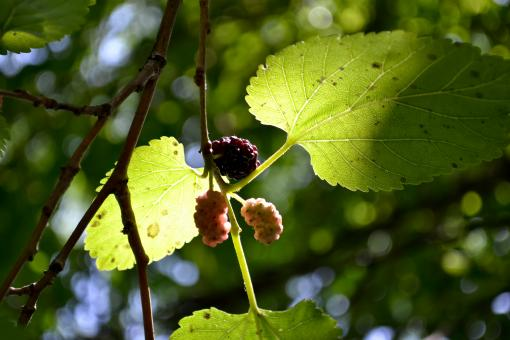 Mulberries in the tree - Free Stock Photo