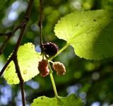 Free Photo - Mulberries in the tree