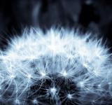 Free Photo - Dandelion flower