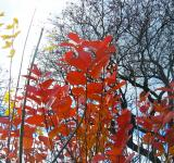Free Photo - Red leafs