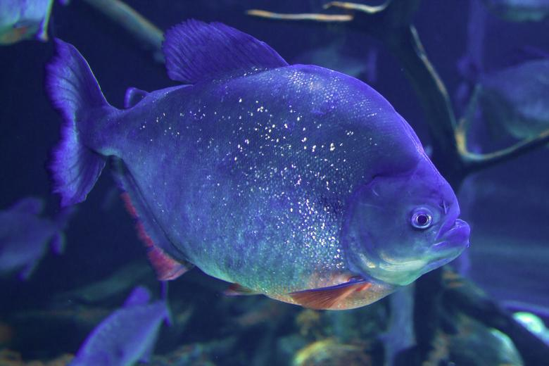 Free Stock Photo of piranha Created by Geoffrey Whiteway