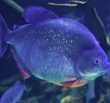 Free Photo - piranha