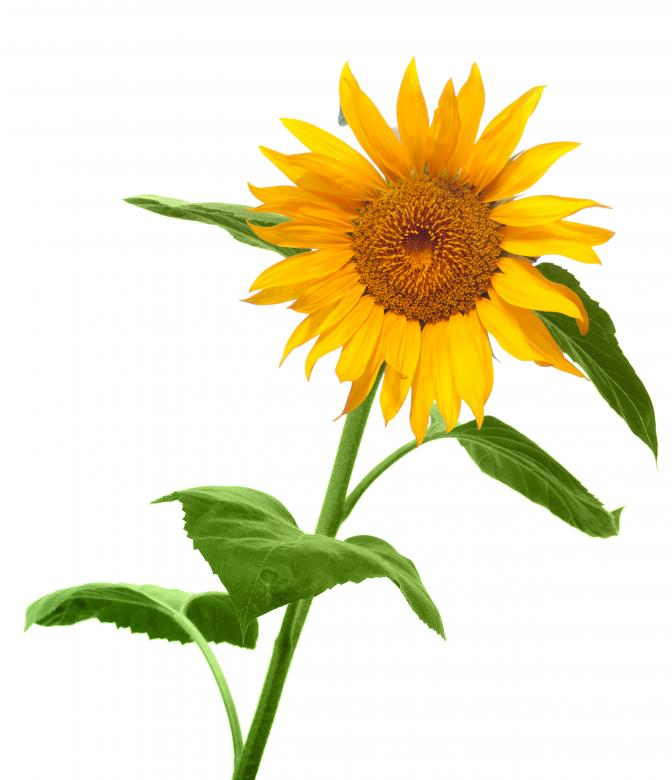 Free Stock Photo of Sunflower Created by 2happy