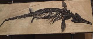 Aquí tenemos el fósil del Ictiosaurio