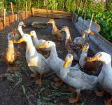 Free Photo - poultry