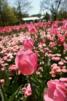 Flowers in Floriade - Free Stock Photo