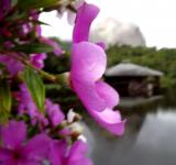 Free Photo - Pink Flower in the Dark Lake