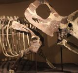 Free Photo - Triceratops Skeleton