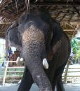 Free Photo - Asian Elephant