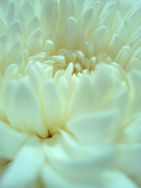 Free Stock Photo of White Flower Close-Up Created by Ivan