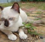 Free Photo - White and Black Burmese Cat