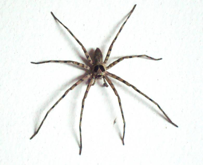 Free Stock Photo of Large House Spider Created by Ivan