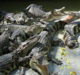 Free Photo - Pile of Crocodiles