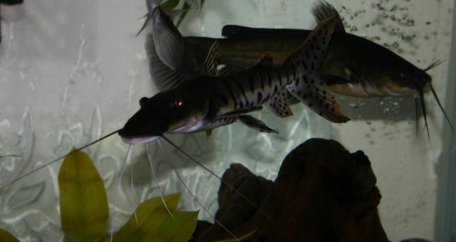 Tiger Shovelnose catfish with a bullhead - Free Stock Photo