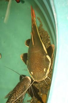 Redtail Catfish - Free Stock Photo