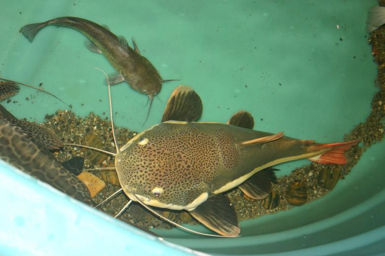 Free Stock Photo of Bullhead meets Redtail Catfish Created by Clifford M. Kinsman