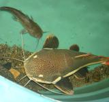 Free Photo - Bullhead meets Redtail Catfish