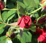 Free Photo - Red Roses
