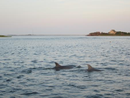 Dolphins - Free Stock Photo