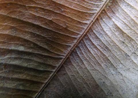 Leaf Veins - Free Stock Photo