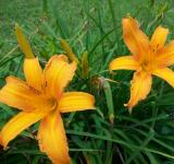 Free Photo - Orange Day Lily with Bronze