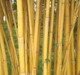 Free Photo - Golden Bamboo
