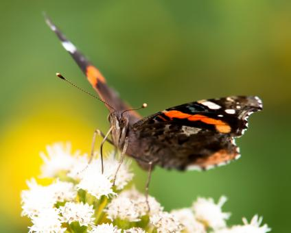 Butterfly gathering pollen - Free Stock Photo