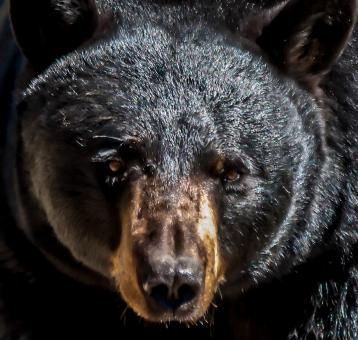 American black bear male adult  - Free Stock Photo