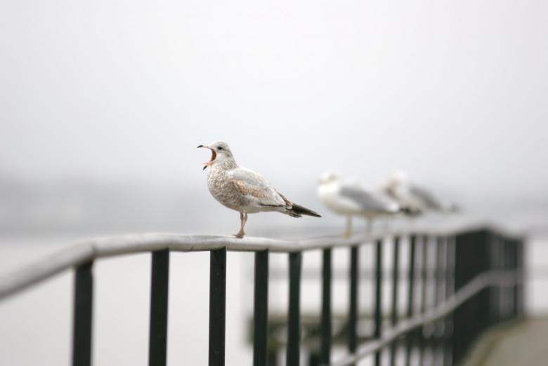 Free Stock Photo of Seagull singing Created by agphotostock.com