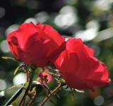Free Photo - Two red roses