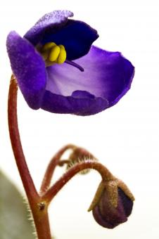 African violet blossom - Free Stock Photo