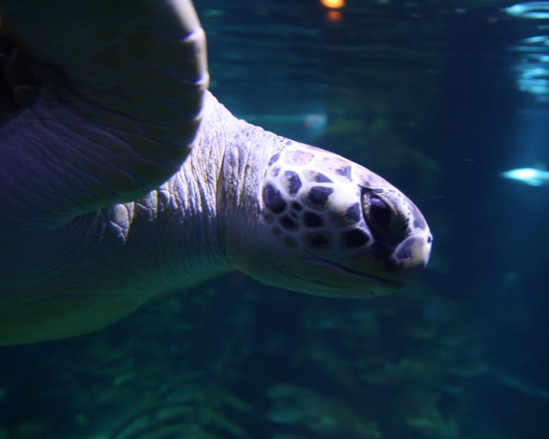 Free Stock Photo of Sea Turtle Created by Geoffrey Whiteway