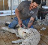 Free Photo - Sheep Shearing