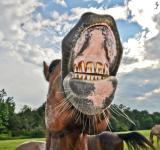 Free Photo - Horse teeth needs dental work