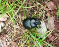 Free Photo - Blue Metallic dung beetle