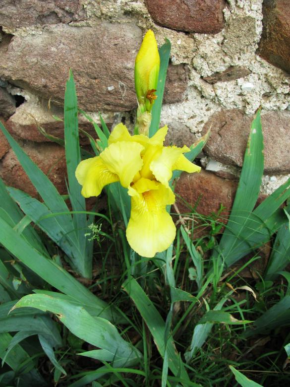Free Stock Photo of Yellow iris in May Created by Yuliy Ganev