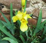 Free Photo - Yellow iris in May