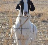 Free Photo - Black and White Goat