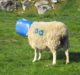 Free Photo - Bucket Head Sheep