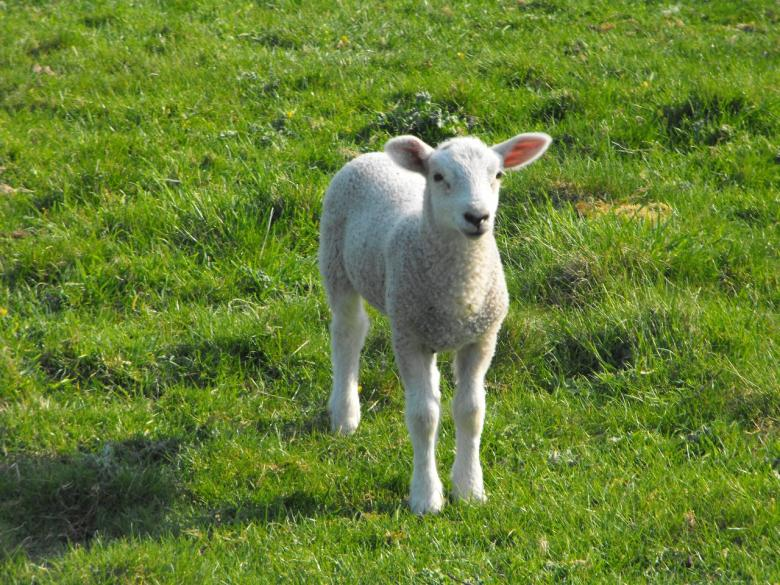 Free Stock Photo of Baby Lamb Created by Jonathan Harris