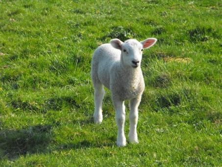 Baby Lamb - Free Stock Photo