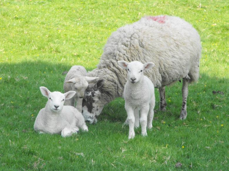 Free Stock Photo of Sheep Family Created by Jonathan Harris